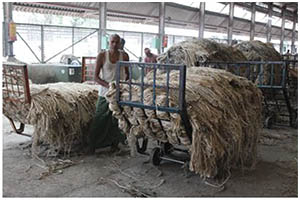 Collecting Raw Jute Fibres