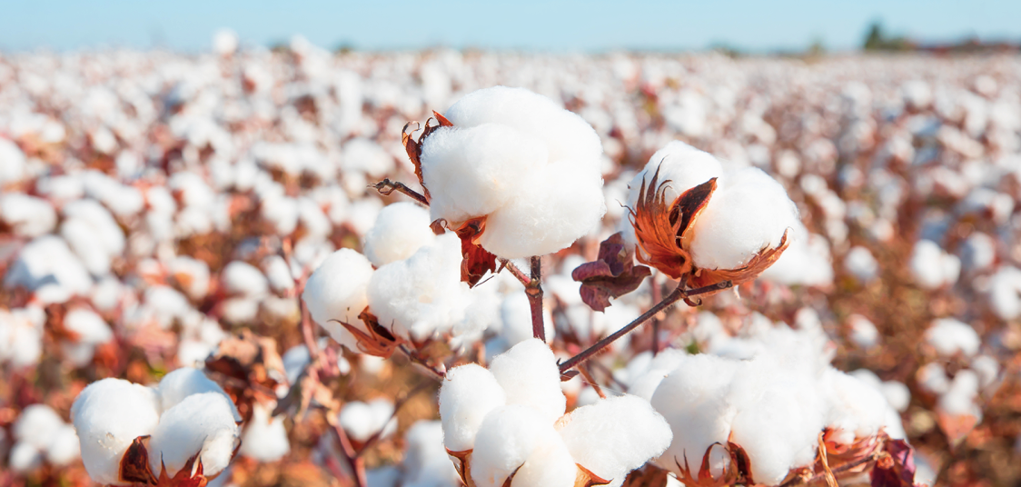 Where Is Cotton Grown?